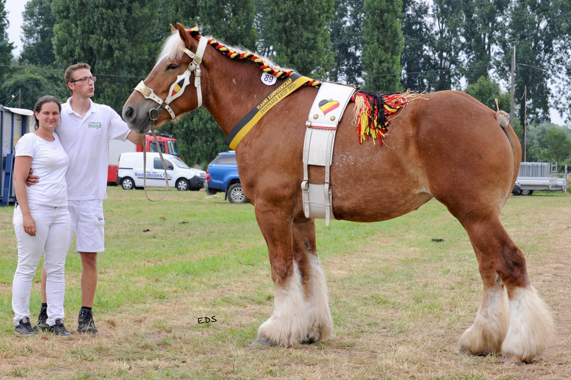 Mooiste Belgische trekpaard staat in Booischot